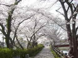 2011sakura_003