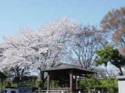 2011sakura_009_2
